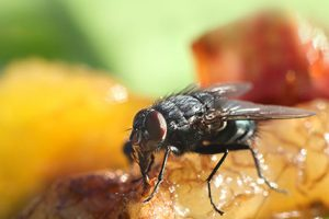 Flies Pest Removal